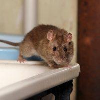 Comment les rats survivent-ils à l'hiver